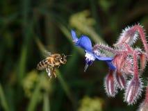 полет пчелы Стоковые Изображения