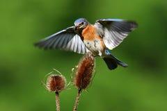 полет синей птицы Стоковое фото RF