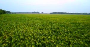 Полет трутня над зеленым полем солнцецветов вечер Украина сток-видео