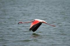 полет фламингоа Стоковое фото RF