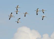 полет avocets Стоковая Фотография