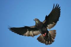 полет dove вполне грациозно стоковые фотографии rf