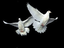 полет dove освобождает белизну Стоковая Фотография RF