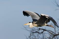 полет egret птицы Стоковая Фотография