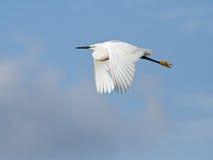 полет egret скотин стоковые изображения rf