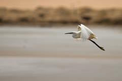 полет egret стоковые изображения