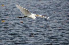 Полет ` s Egret рано утром стоковое фото
