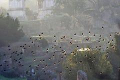 Полет starlings Стоковые Фото