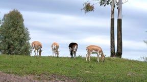 поле антилопы пася Стоковые Фото