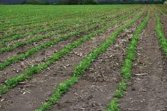 Поле арахиса Саженцы арахиса Плантация с симметричным взглядом стоковая фотография rf