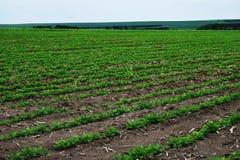Поле арахиса Саженцы арахиса Плантация с симметричным взглядом стоковые изображения rf