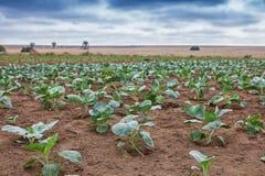 Поле африканского земледелия в Cabinda anisette Стоковое Изображение RF