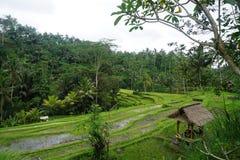 Поле Бали риса с облаками и пальмами стоковая фотография rf