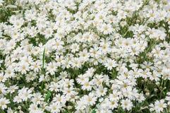 Поле белого цветка стоковая фотография rf