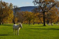 Поле белой лошади большое в осени Стоковое фото RF