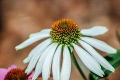 Поле белой эхинацеи цветков конуса, общее в саде стоковое фото rf