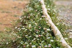 Поле белых цветков вдоль обочины стоковое фото rf