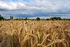 поле берет пшеницу на острие взгляда Стоковые Фото