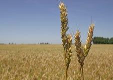 поле берет пшеницу на острие Стоковое Изображение
