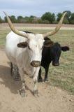 поле быка пася Стоковые Изображения