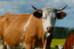 поле быка Стоковые Изображения