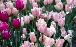 Поле весны фиолетовых и розовых тюльпанов Стоковое Изображение