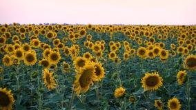 Поле вечера с зацветая солнцецветами акции видеоматериалы