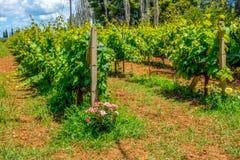 Поле виноградины на греческом острове стоковые фотографии rf