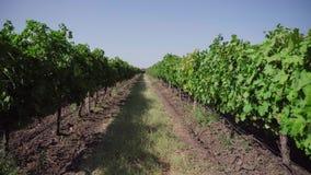 Поле виноградины, строки виноградника сток-видео