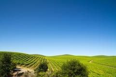Поле виноградника Стоковая Фотография