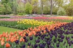 Поле в саде, Нидерланд шарика цветка тюльпана стоковое фото rf
