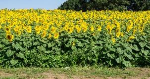 Поле гигантских солнцецветов -3 стоковая фотография rf