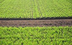 поле гребет сеянцы Стоковое Изображение RF