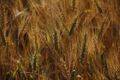 Поле желтой пшеницы в заходе солнца стоковые фото