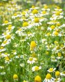 Поле желтых и белых маргариток Стоковые Изображения RF