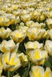 Поле желтых и белых тюльпанов Стоковое Фото