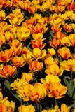 Поле желтых и оранжевых тюльпанов Стоковая Фотография