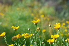 Поле желтых цветков и defocus зеленой травы, в foregrou Стоковые Изображения RF