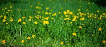Поле желтых цветков и defocus зеленой травы, в foregrou Стоковое Изображение