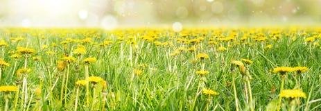 Поле желтых цветков одуванчика и совершенного неба заречье moscow один панорамный взгляд Стоковые Фотографии RF