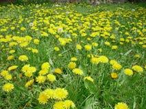 Поле желтых цветков одуванчика Стоковые Изображения