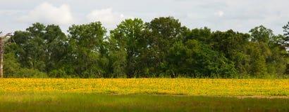 Поле желтых цветков стоковая фотография