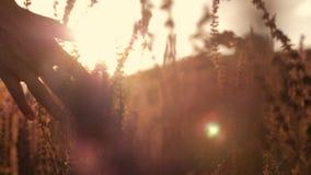 Поле женской руки касающее цветет конец-вверх на заходе солнца Концепция природы и здоровья акции видеоматериалы