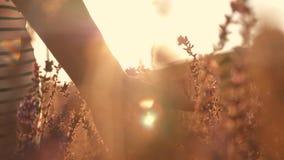 Поле женской руки касающее цветет конец-вверх на заходе солнца Концепция природы и здоровья сток-видео