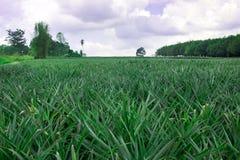 Поле завода ананаса Стоковые Фото