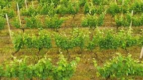 Поле засаженное с виноградинами, индустрия виноделия, фольклорное ремесло, земледелие Georgia сток-видео