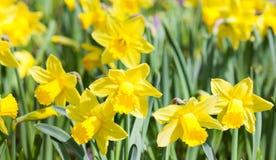 Поле зацветая желтых цветков daffodil Цветковые растения Narcissus на солнечный весенний день Мягкая фотография фокуса Стоковое Изображение