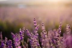 Поле зацветая лаванды стоковое фото