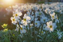 Поле зацветая daffodils в парке против предпосылки голубые облака field wispy неба природы зеленого цвета травы белое st petersbu Стоковое Изображение