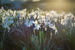 Поле зацветая daffodils в парке против предпосылки голубые облака field wispy неба природы зеленого цвета травы белое st petersbu Стоковое фото RF